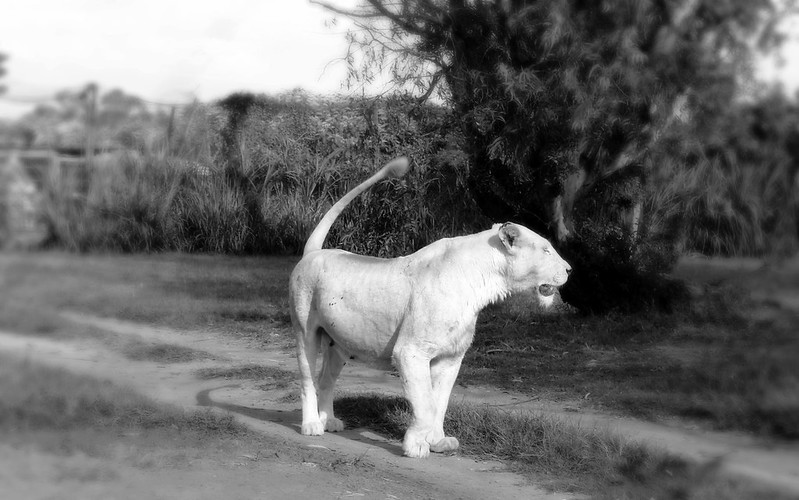 Lion - Joburg