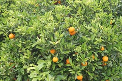 evergreen, calamondin, citrus, kumquat, yuzu, fruit, bitter orange, tangerine, mandarin orange,