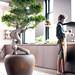 Der Ficus Ginseng ist Pflanze des Monats Juli 2015