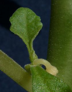Dorstenia hildebrandtii 19204070864_0e8200696e_n