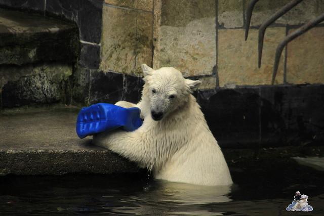 Eisbär Fiete im Zoo Rostock 11.07.2015  0271