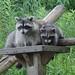 Raccoon Family by Sara Turner Photography