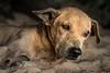 Sri-Lankan Dog 3