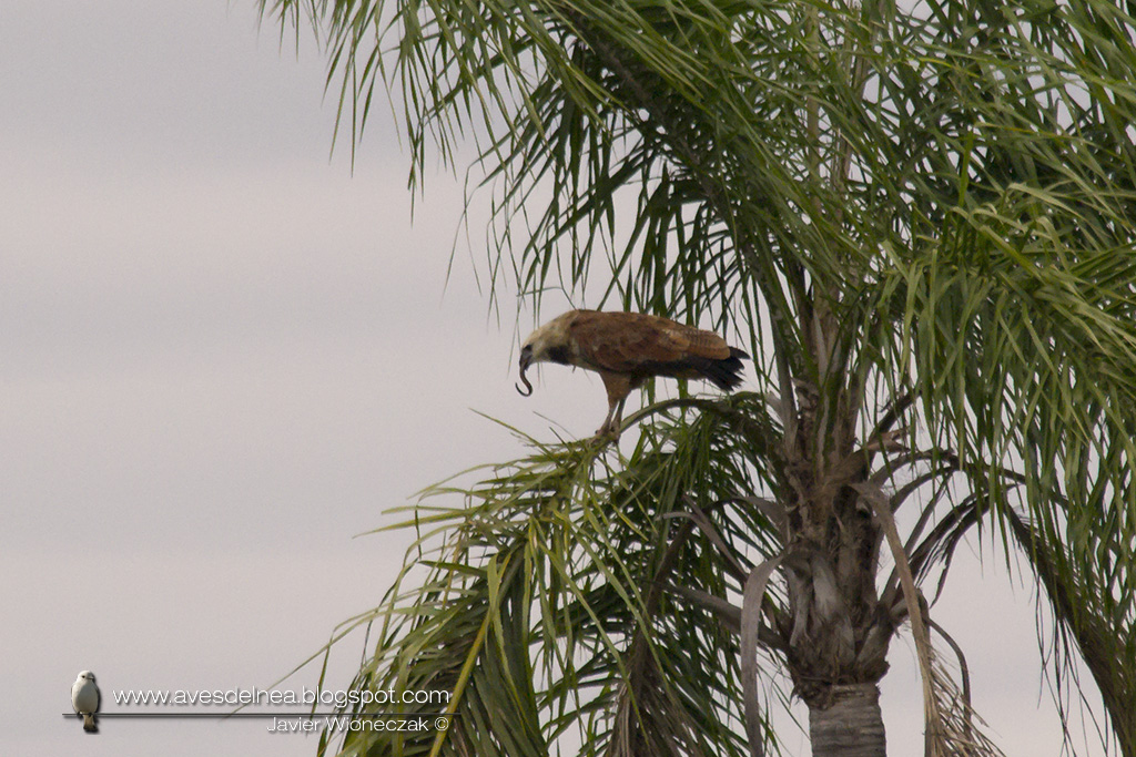 DSC_06Aguilucho pampa (Black-collared Hawk) Busarellus nigricollis09
