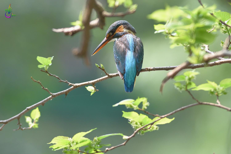 Common_Kingfisher_6999