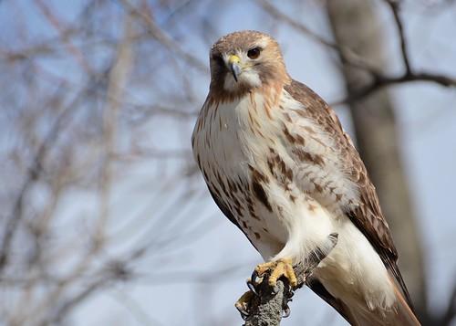birds birdsofprey raptors hawks hawkredtailed redtailedhawk nikon nikond7100 tamronsp150600mmf563divc jdawildlife johnny portrait closeup eyecontact