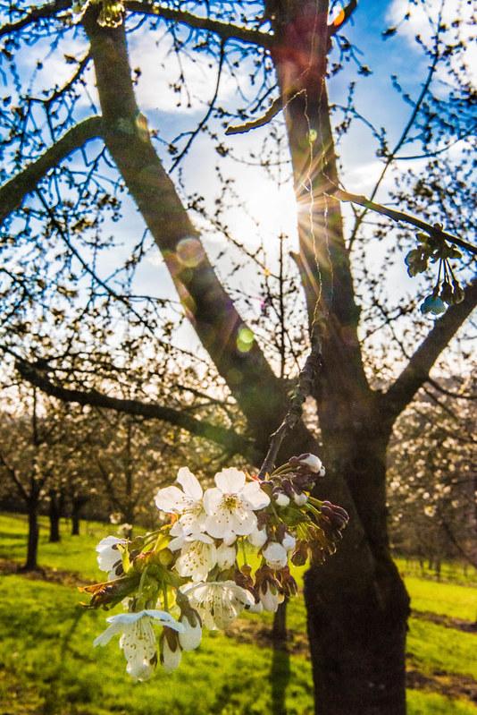 Kirschblüte_030