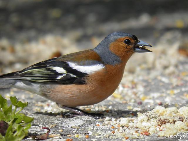 Male Chaffinch 6