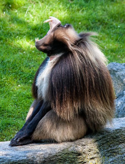 Gelada, Bronx Zoo