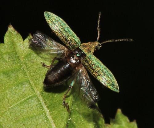 Weevil 16482