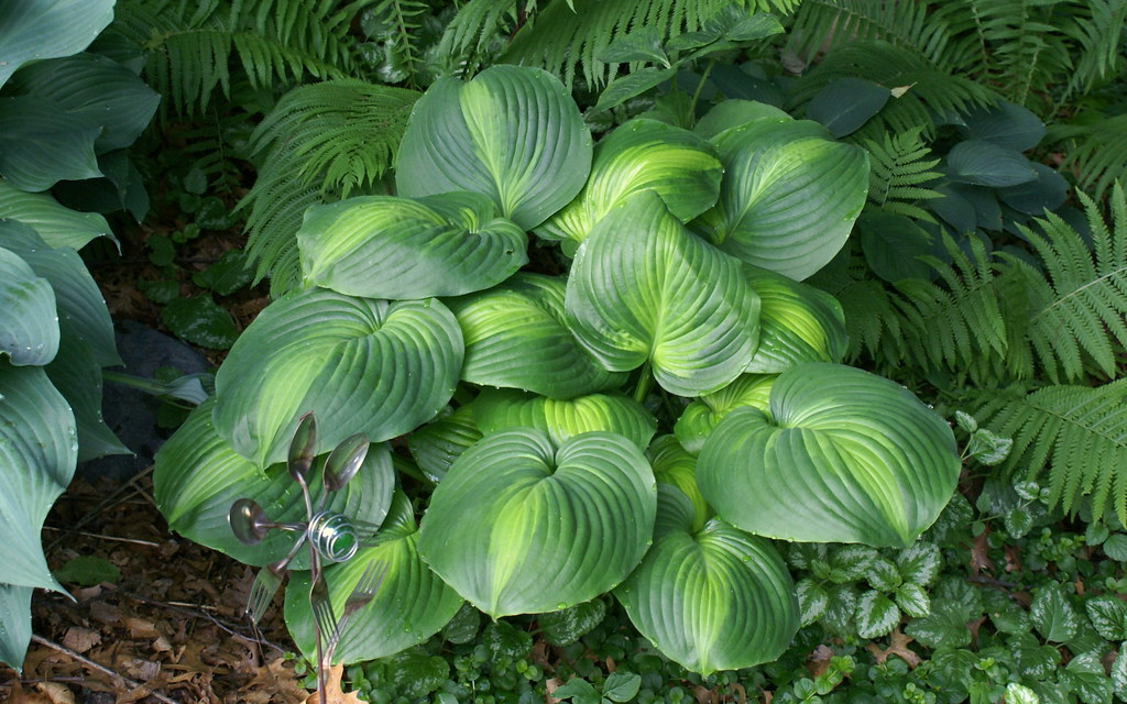 Hosta 'Holy Mole' (09)-001