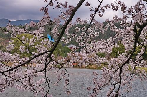 【写真】2013 桜 : 大覚寺/2020-09-15/IMGP9436