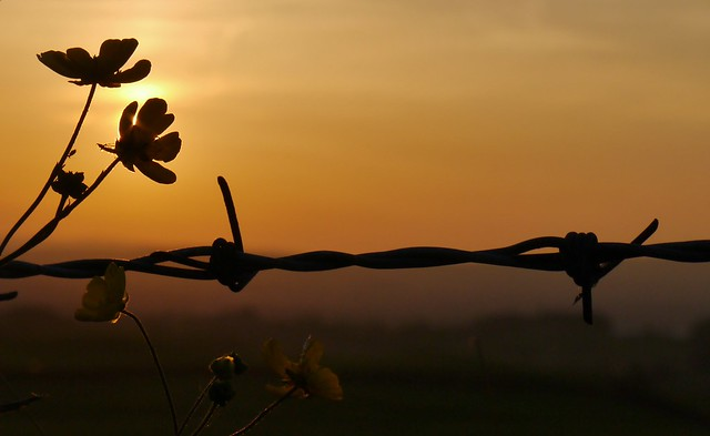 barbed wire and butterscotch