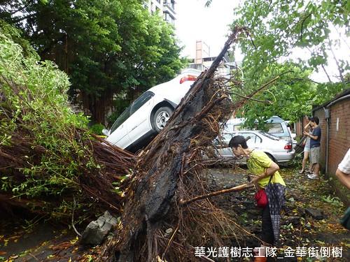 華光社區的風倒樹,華光護樹志工隊提供。