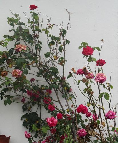 L'�ge de la rose
