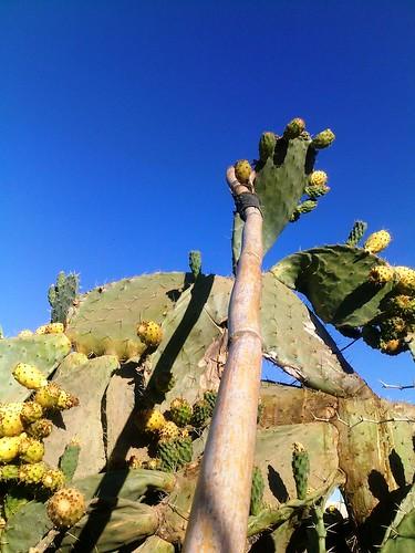 Opuntia ficus indica