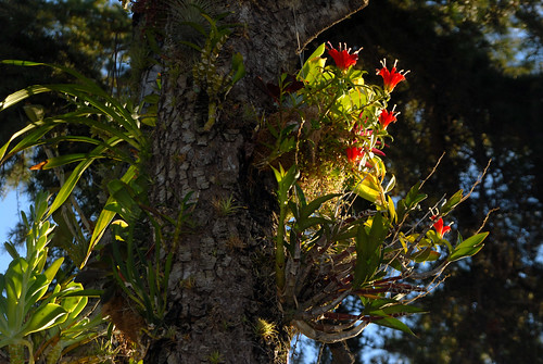 Aeschynanthus Growing Epiphytically