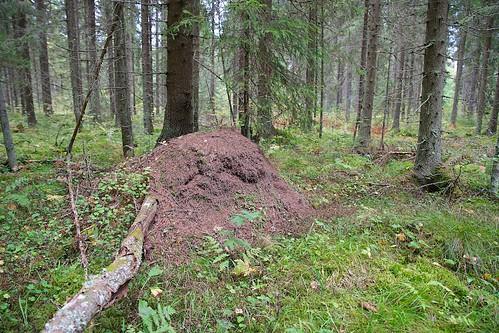 autumn tree fall forest suomi finland anthill hämeenkyrö
