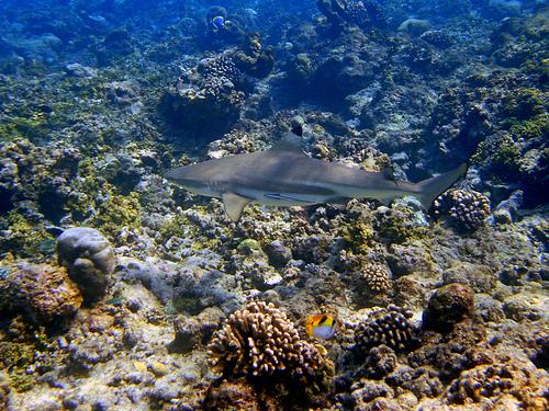 黑鰭鯊。(照片:ravpix。)