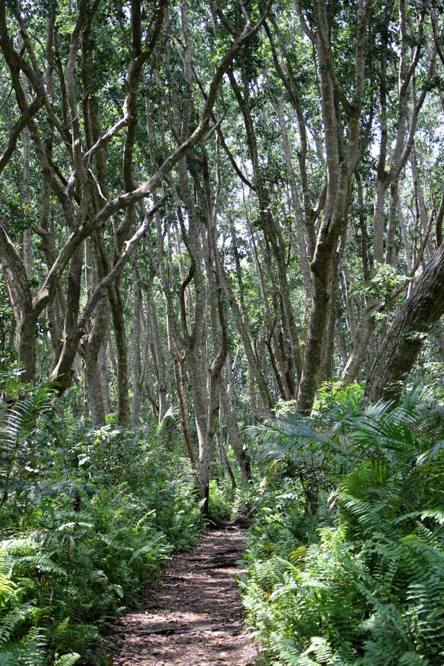 Strolling through the Jozani forest in Zanzibar
