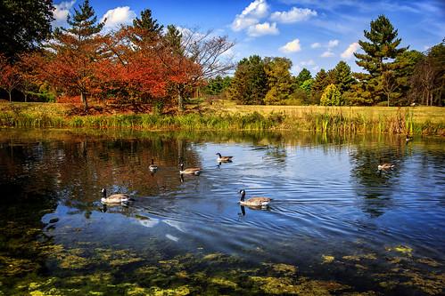 vienna autumn virginia pond day fallcolors sunny ripples meadowlarkbotanicalgardens canadageese lakegardiner pwpartlycloudy