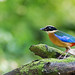 Blue-winged Pitta - Pitta moluccensis by Andy_LYT