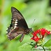 Polydamas Swallowtail (Battus polydamas) by Paul Hueber
