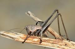 Tyreonotus corsicus male (last instar nymph)