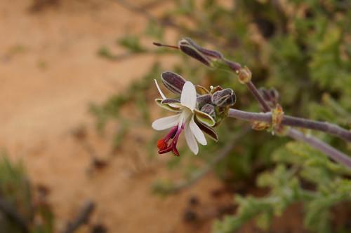 P. carnosum subsp. ferulaceum, flower