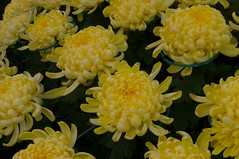 Shilin Official Residence Chrysanthemum Show - 37
