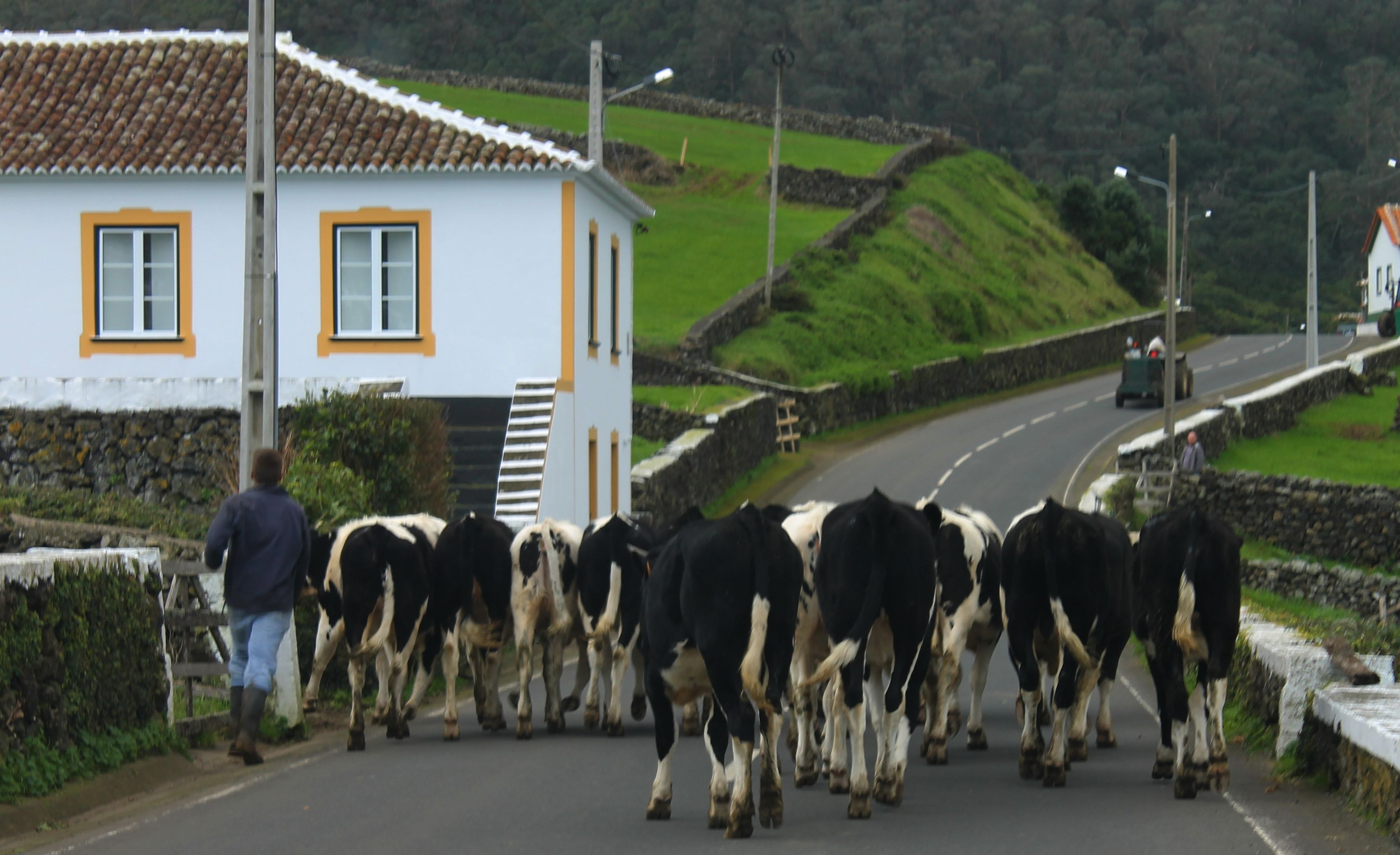 12. Cows a Walking