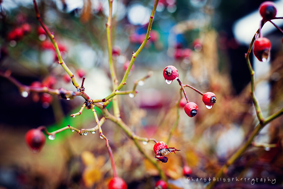 Rose Hips and Bokeh