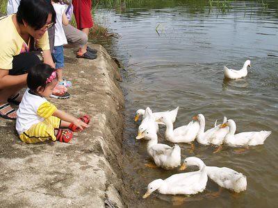 20130904_bmerah_ducks