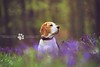 Porthos Beagle at Bluebell Woods | Hertfordshire, England by Bridget Davey (www.bridgetdavey.com)