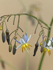 Flax-lily (either Dianella Tasmanica or a cultivar of Dianella ensifolia)