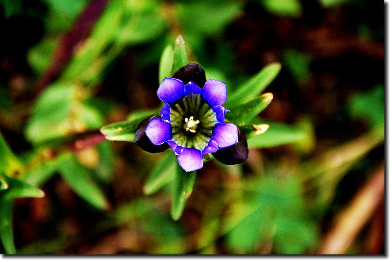 Mountain gentian(Parry gentian) 3