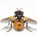 Fly - Gymnosoma spp by afterforty‽