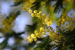 Mimosa - Photo of Pujaudran