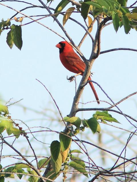 Northern Cardinal 20130519