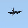 Day 143: Female Magnificient Frigatebird After Dive For Its Dropped Catch