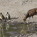 Langurs and Chital at pool (Helen and Tony Mainwood)