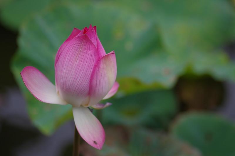 台北植物園の夏荷初體驗