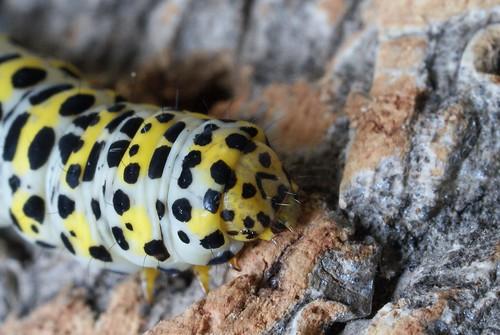 Mullein (Shargacucullia verbasci) larva