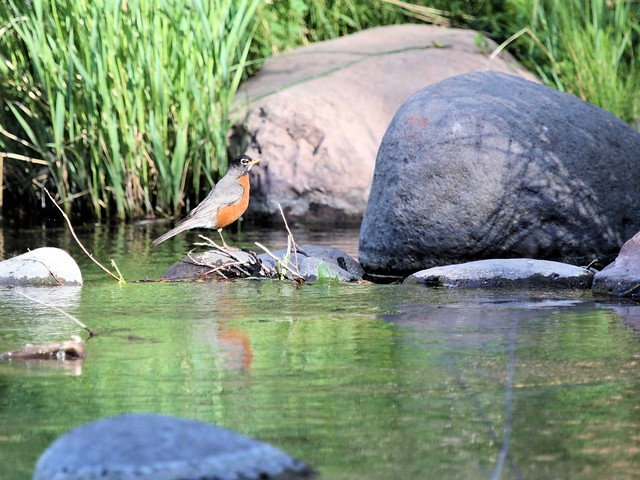 American Robin at Oak Creek 20130617
