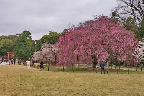 【写真】2013 桜 : 上賀茂神社/2020-09-09/IMGP9521