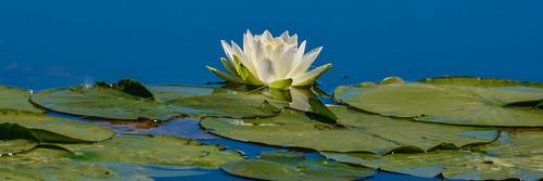 <p><i>Nymphaea alba</i>, Nymphaeaceae<br /> Grant Narrows, Pitt Meadows, British Columbia, Canada<br /> Nikon D5100, 70-300 mm f/4.5-5.6<br /> June 30, 2013</p>
