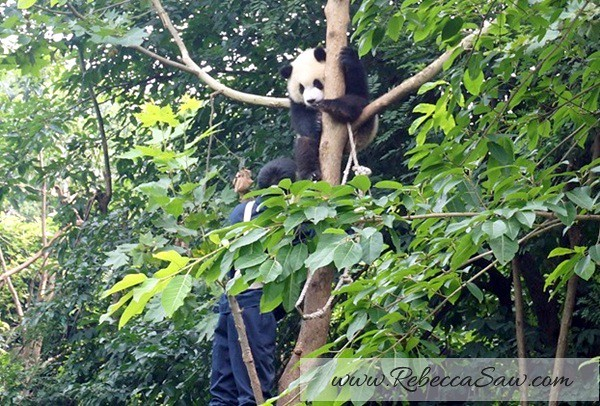 Chengdu - Panda Breeding Farm-026