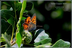 Tailed Copper Colorado butterfly photography by Ron Birrell, DSC_4991