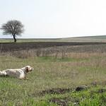 GOLD DI VALTRESINARO - In ferma su starne nella vastità dei terreni della Serbia.