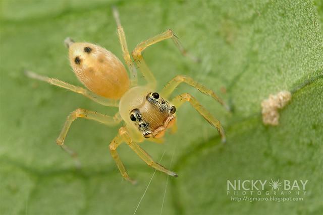 Jumping Spider (Salticidae) - DSC_3243